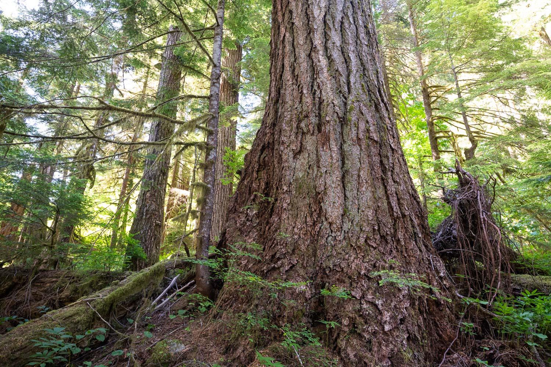 nahmint-valley-douglas-fir-tree-before.jpg