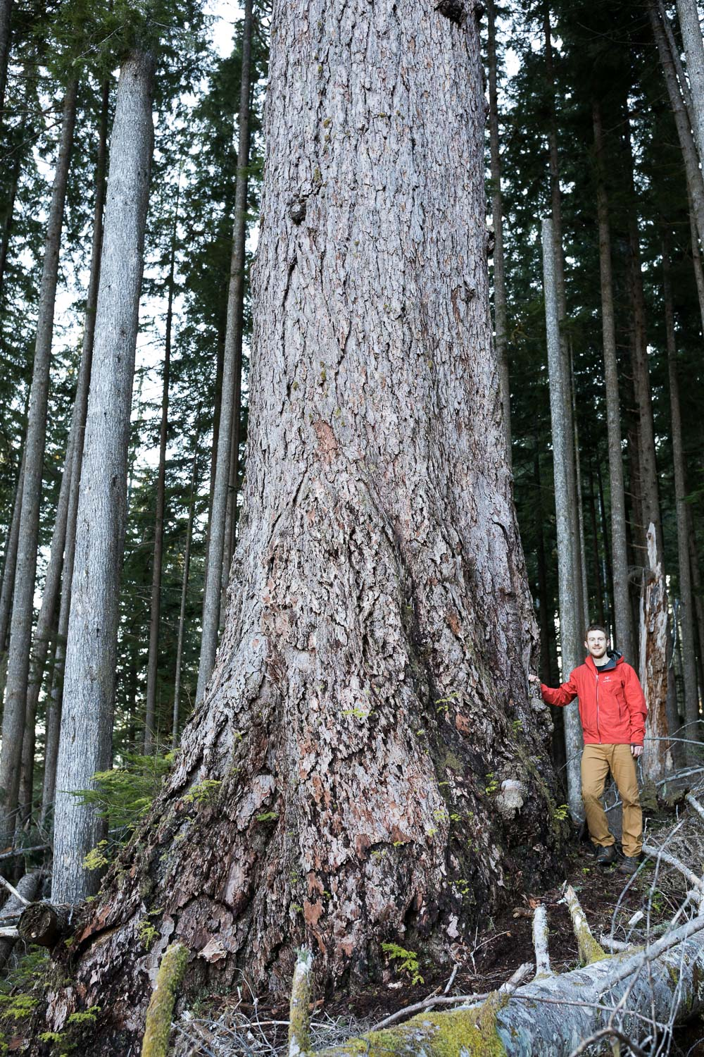 Another 10ft diameter Douglas-fir tree. Though outside the cutblock, it remains vulnerable to future logging.