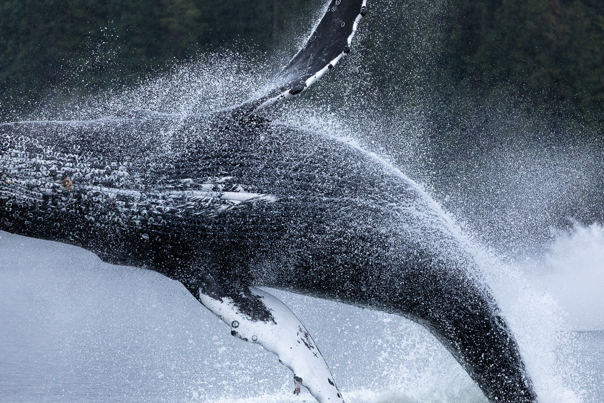 First panicked shot of the breaching humpback after swinging my camera around!