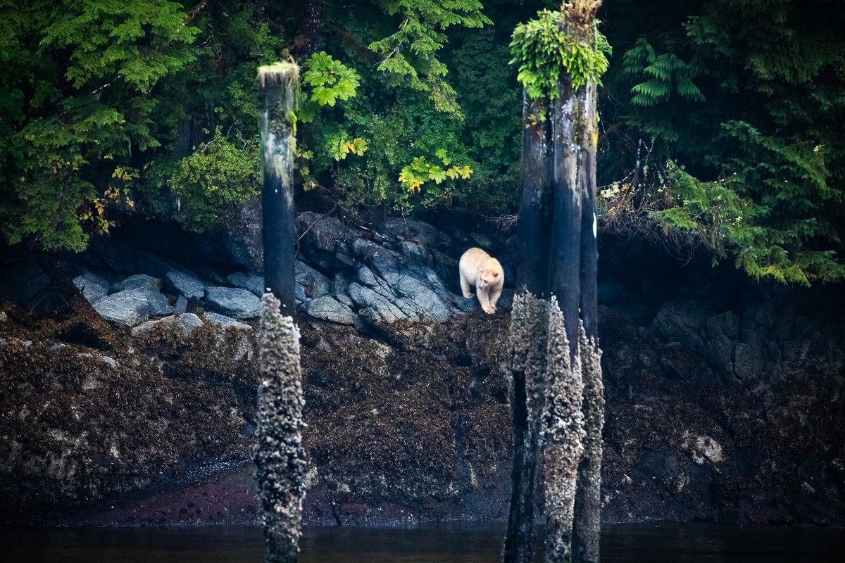 Surprise spirit bear