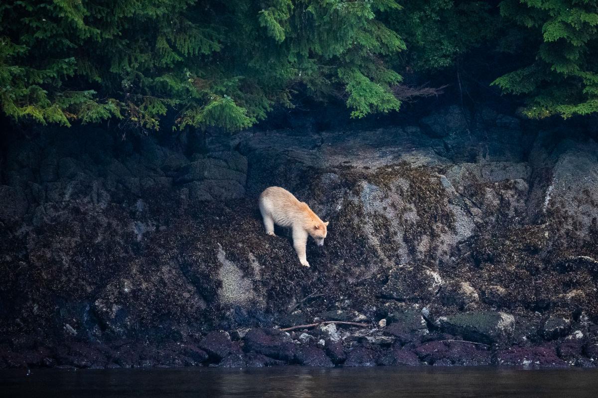 Great-Bear-Rainforest-1-Sept-2018-848.jpg