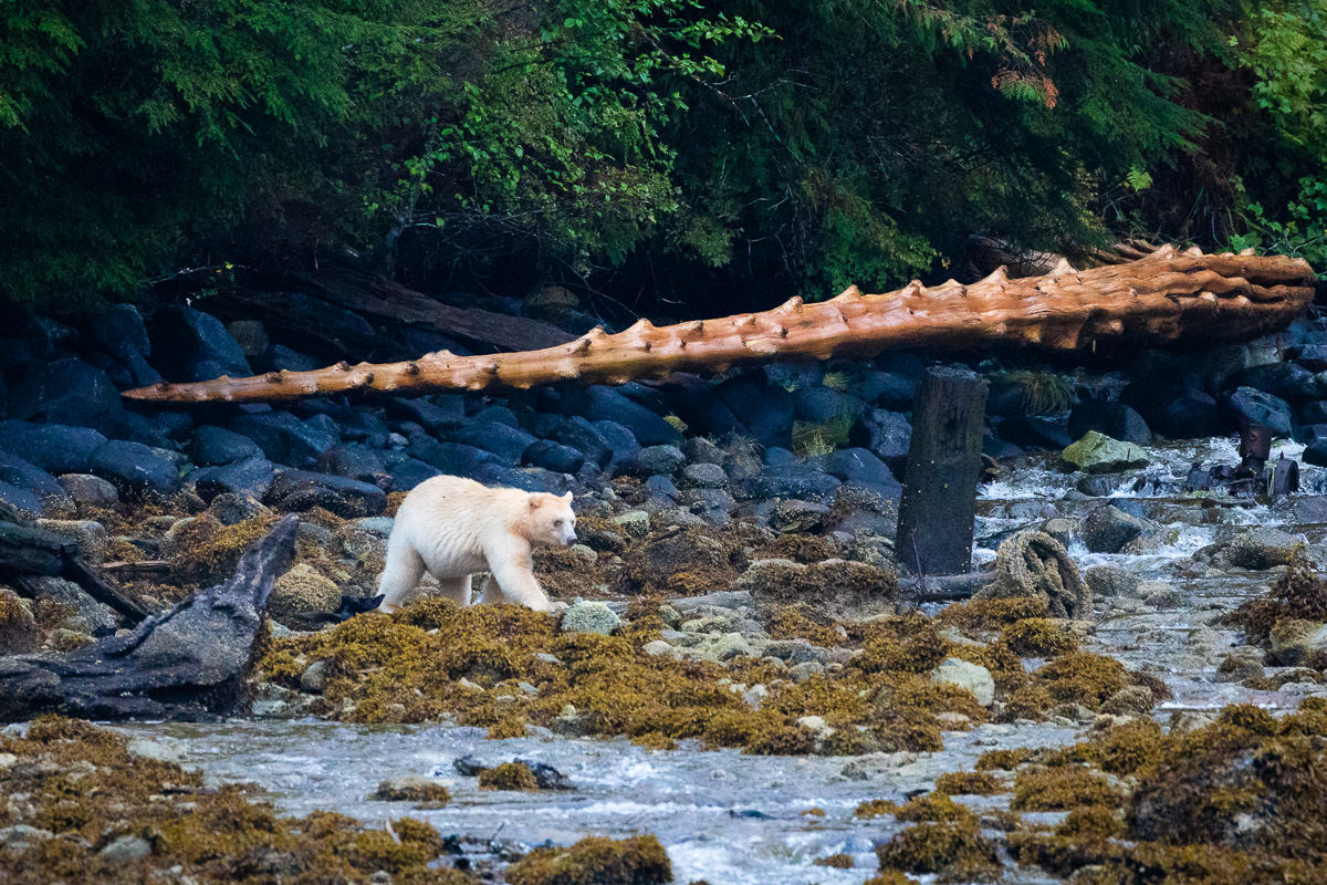Great-Bear-Rainforest-1-Sept-2018-945.jpg