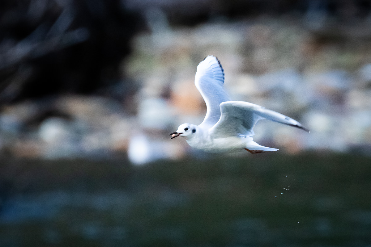 A Bonaparte's gull with a salmon egg in it's mouth. Wathcing these birds hover, dive, and deftly picking out a single egg with their beak in a fast flowing river was like watching a ninja with chopsticks do the impossible!