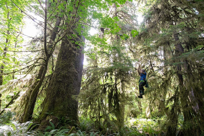 mossome-grove-sitka-spruce-tree-climb-27.jpg