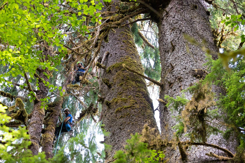mossome-grove-sitka-spruce-tree-climb-59.jpg