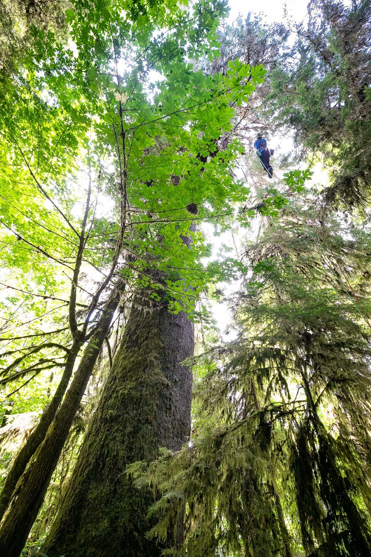mossome-grove-sitka-spruce-tree-climb-33.jpg