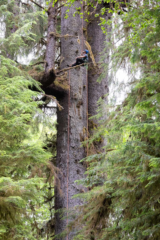 mossome-grove-sitka-spruce-tree-climb-108.jpg