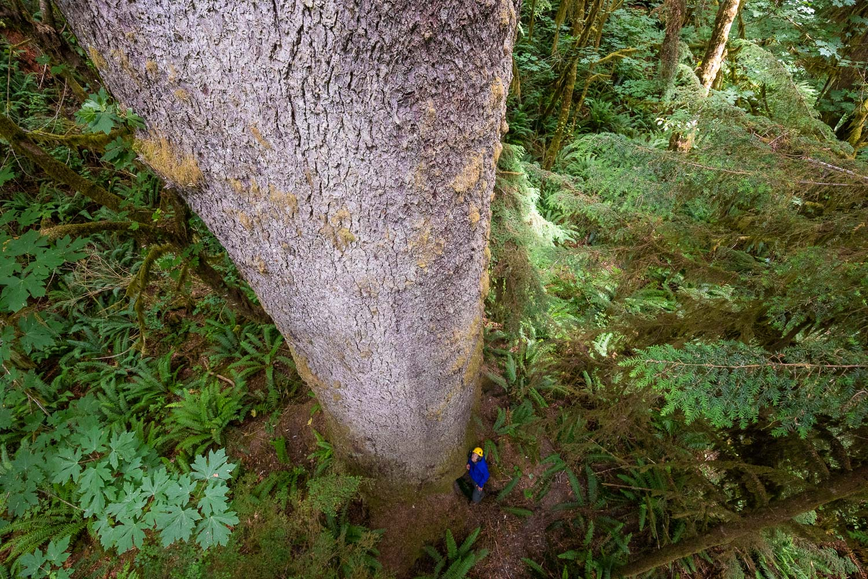 mossome-grove-sitka-spruce-tree-climb-138.jpg