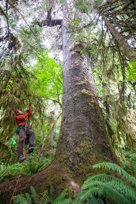 mossome-grove-sitka-spruce-tree-climb-128.jpg