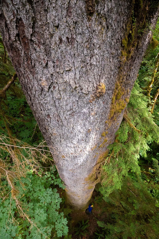 mossome-grove-sitka-spruce-tree-climb-146.jpg