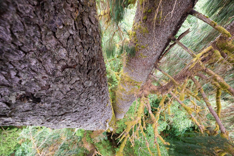 mossome-grove-sitka-spruce-tree-climb-173.jpg