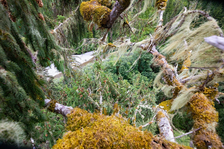 mossome-grove-sitka-spruce-tree-climb-188.jpg