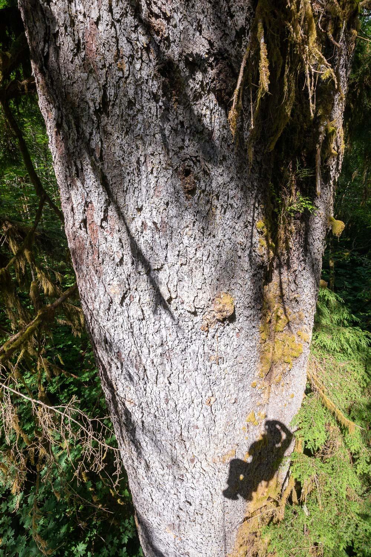 mossome-grove-sitka-spruce-tree-climb-283.jpg