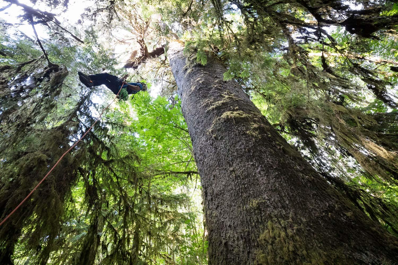 mossome-grove-sitka-spruce-tree-climb-301.jpg