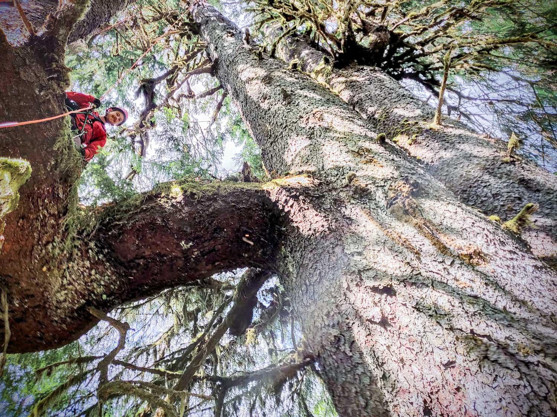 mossome-grove-sitka-spruce-tree-climb-162332.jpg