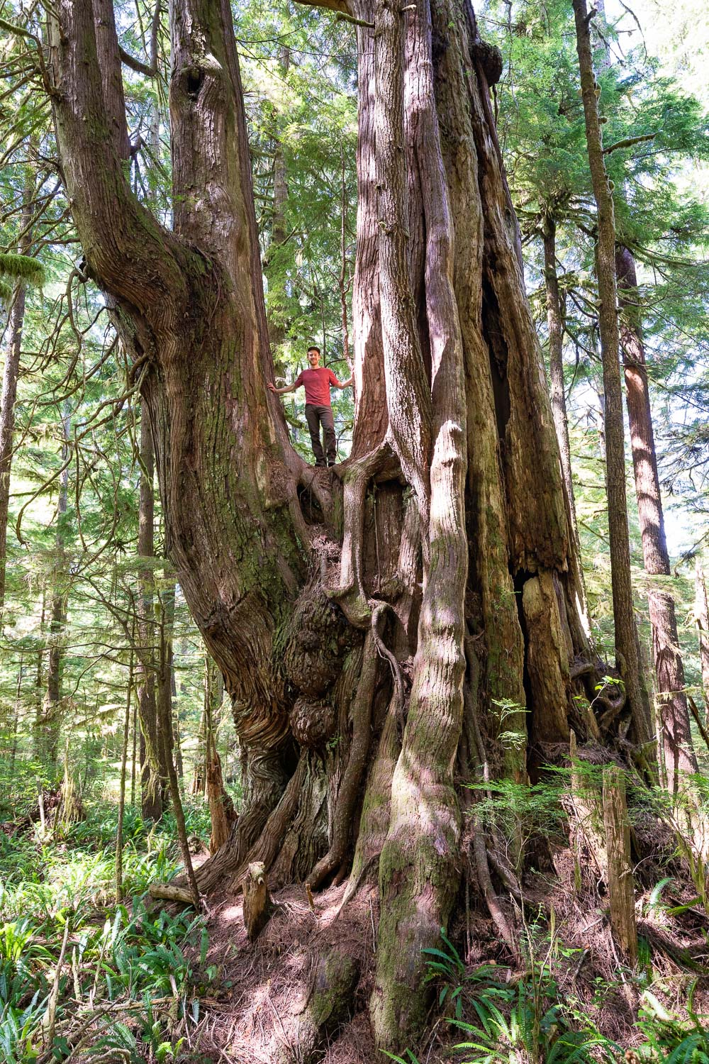 An massive western redcedar tree measuring 14.6ft in diameter near Cheewhat Lake in the Pacific Rim National Park Reserve on southern Vancouver Island.