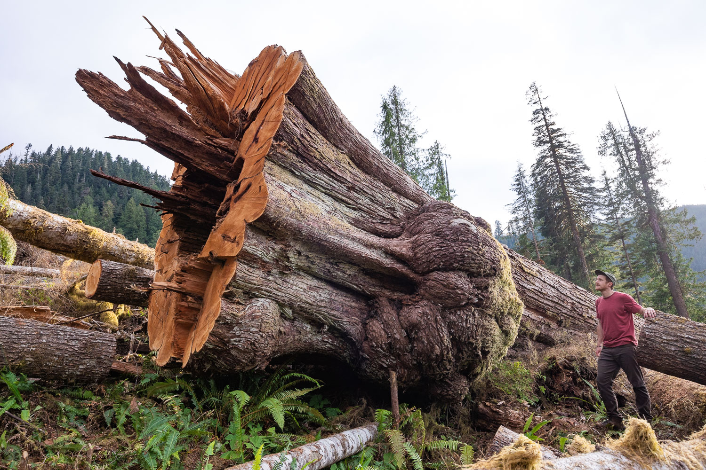 teal-jones-old-growth-cedar-logging.jpg