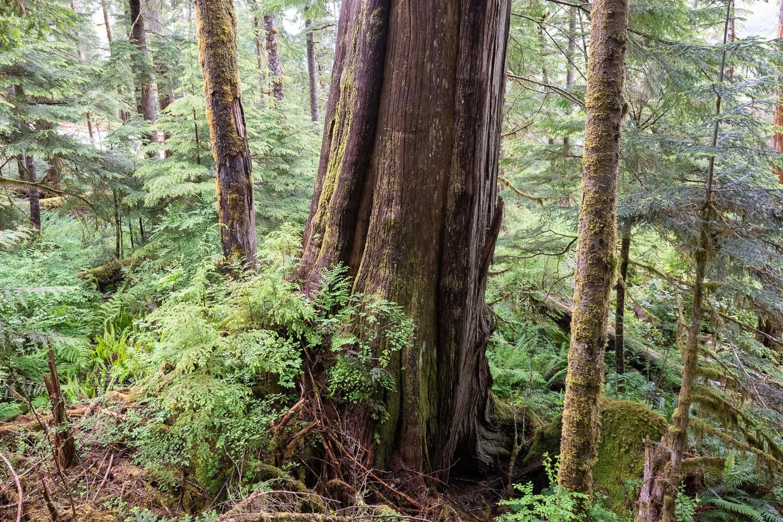 nahmint-cedar-forest-2-before.jpg