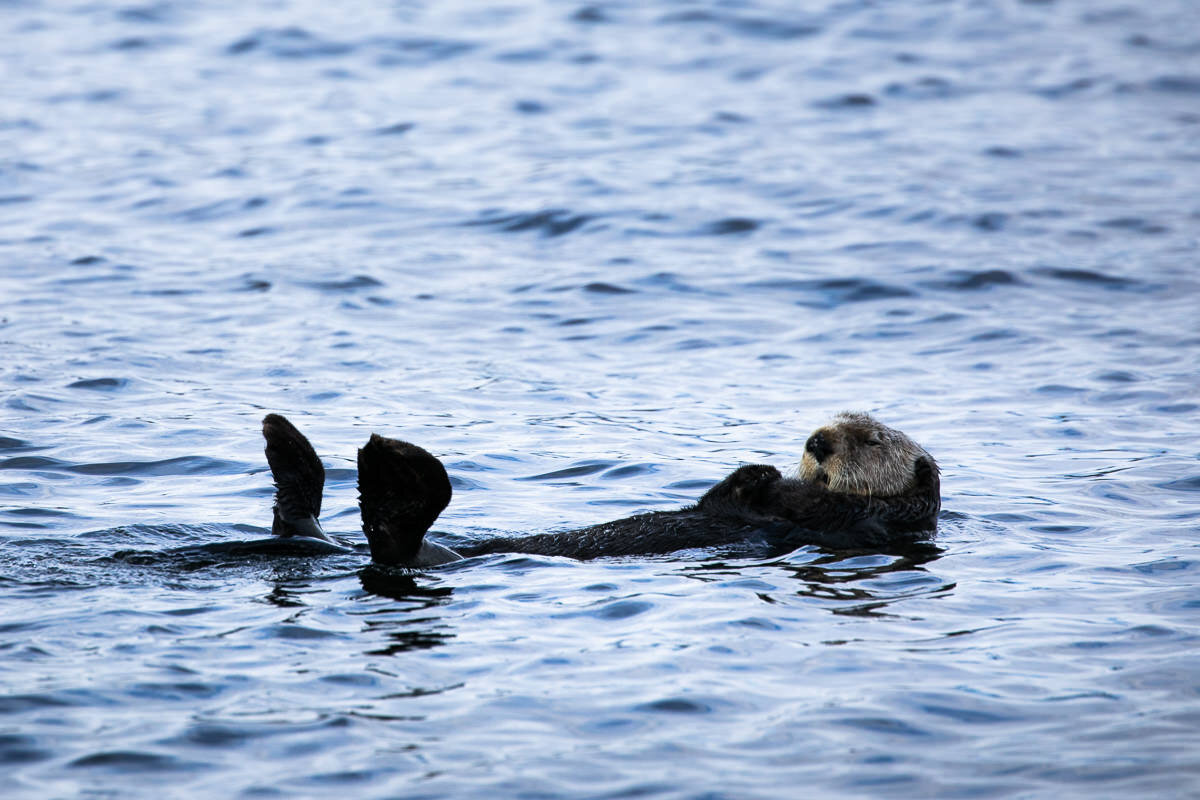 "A sea otter known locally as ""big balls"" ;)"