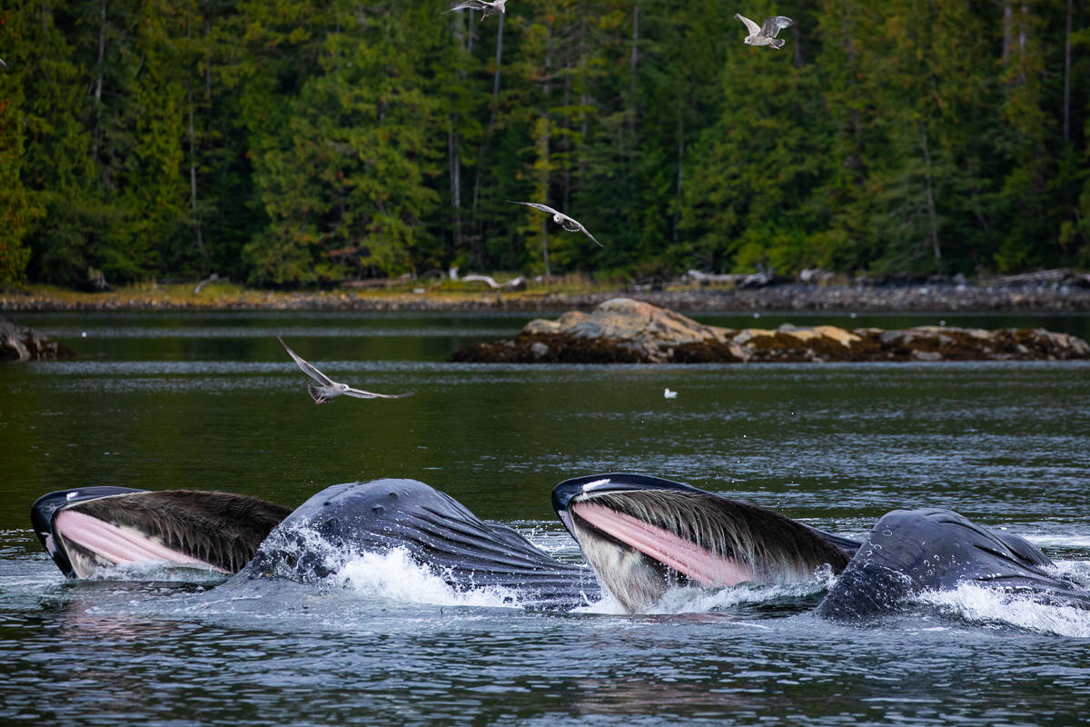 Two humpbacks scoop up their lunch while 'bubble netting'
