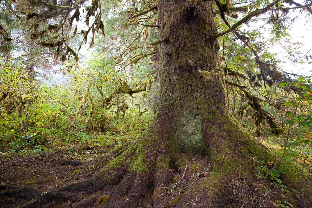 Old-growth Sitka spruce