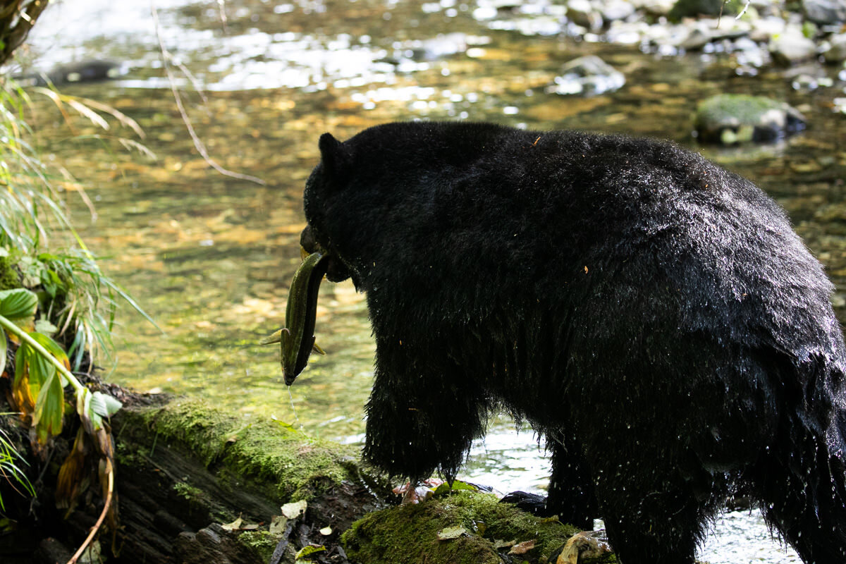 Great-Bear-Rainforest-2-Sept-1374.jpg