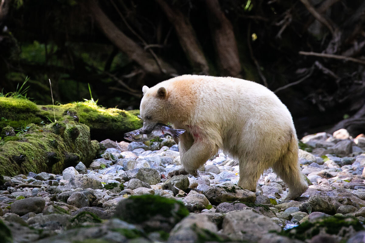Great-Bear-Rainforest-2-Sept-1533.jpg
