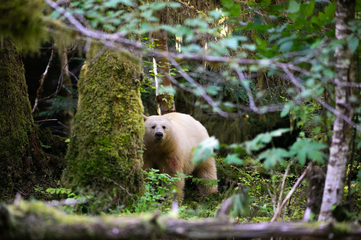 Great-Bear-Rainforest-2-Sept-1555.jpg