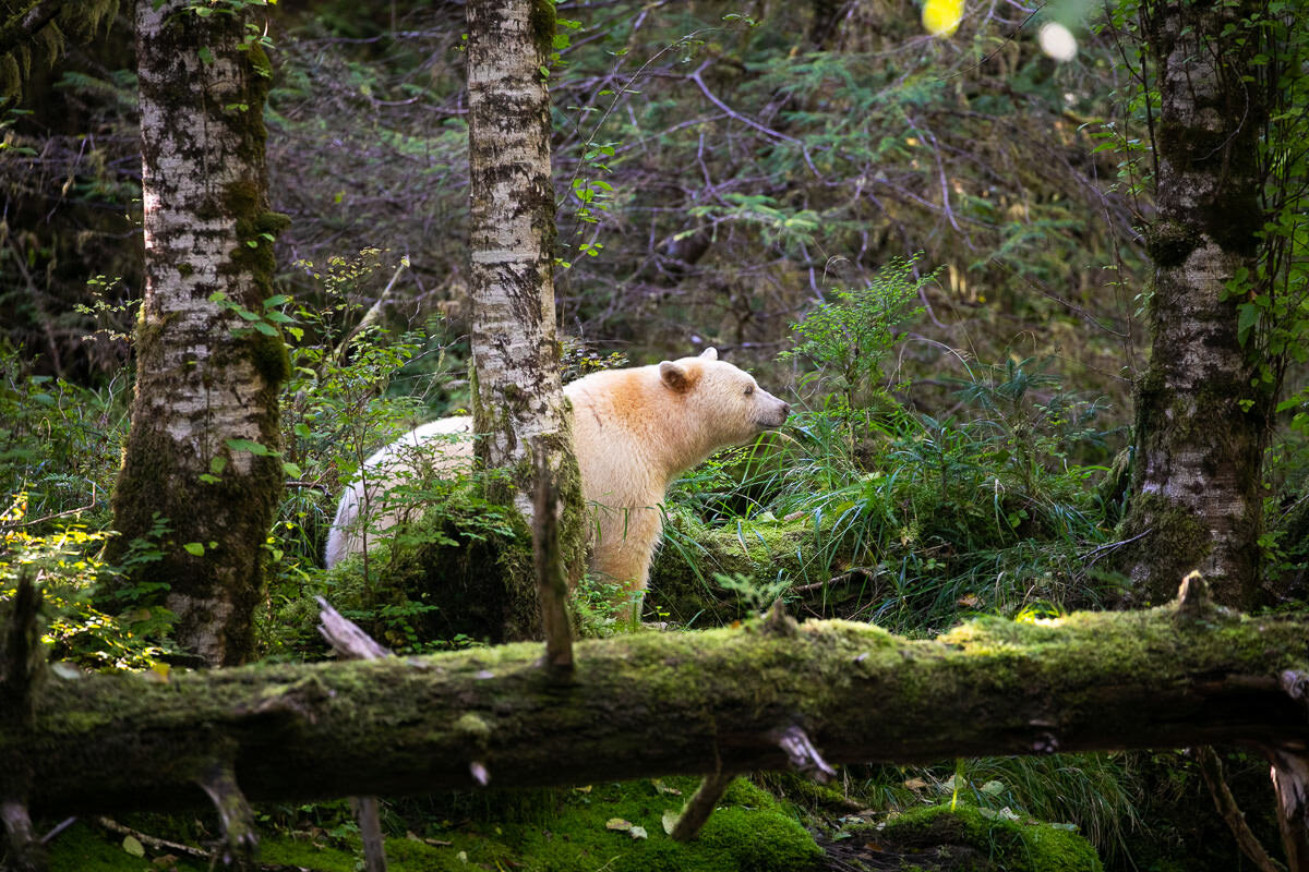 Great-Bear-Rainforest-2-Sept-1566.jpg