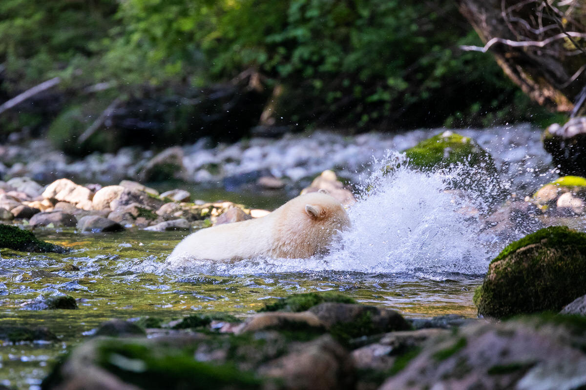 Spirit bear Warrior catches a salmon