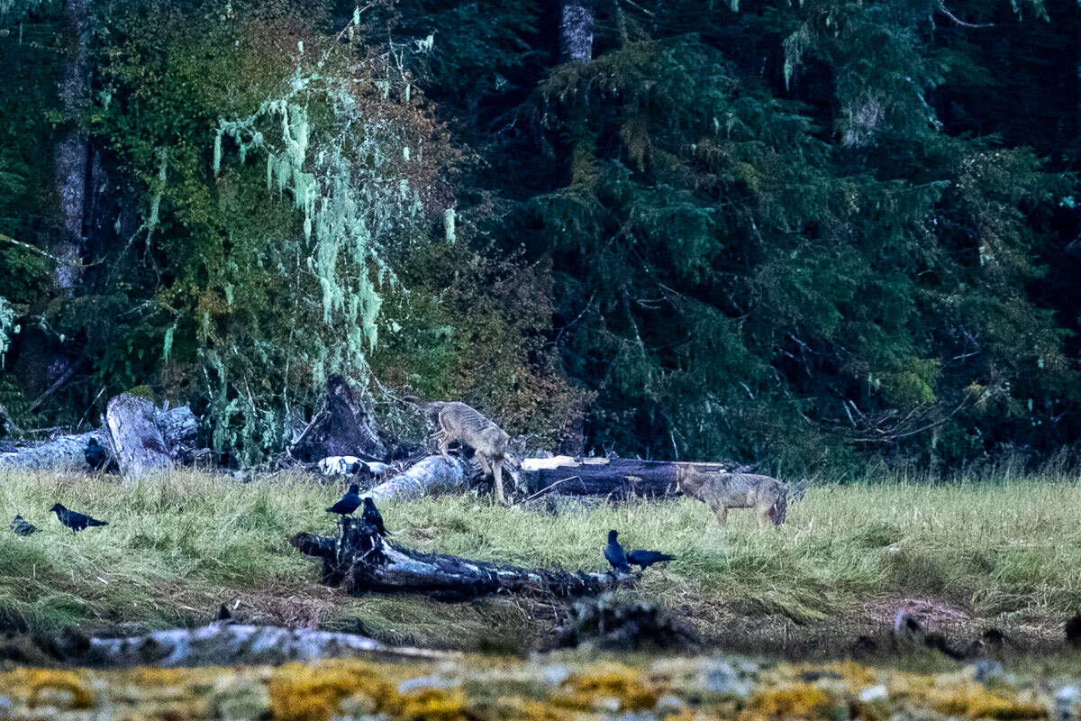 Our first glimpse of coastal wolves! So amazing to see
