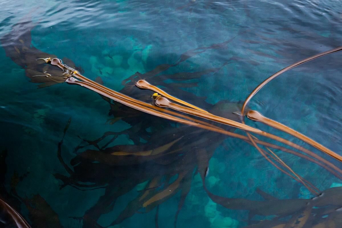 Beautiful bull kelp