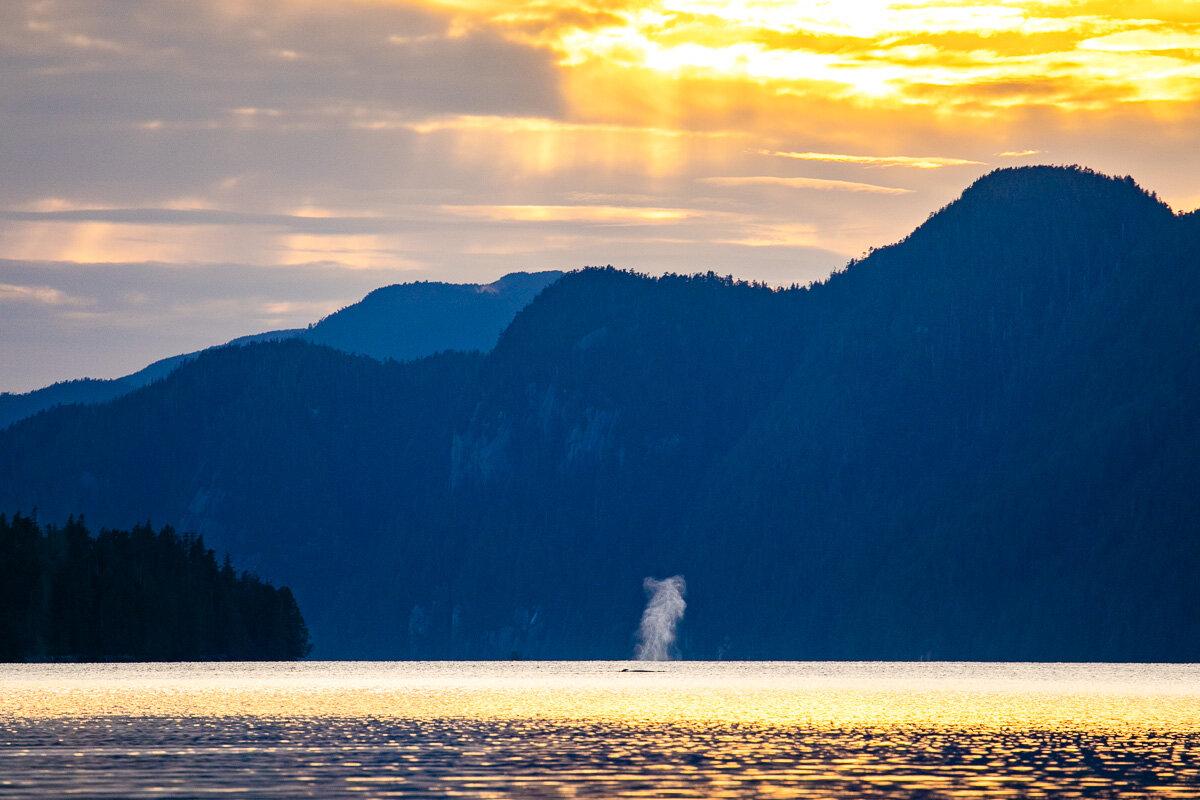 Humpback at sunset