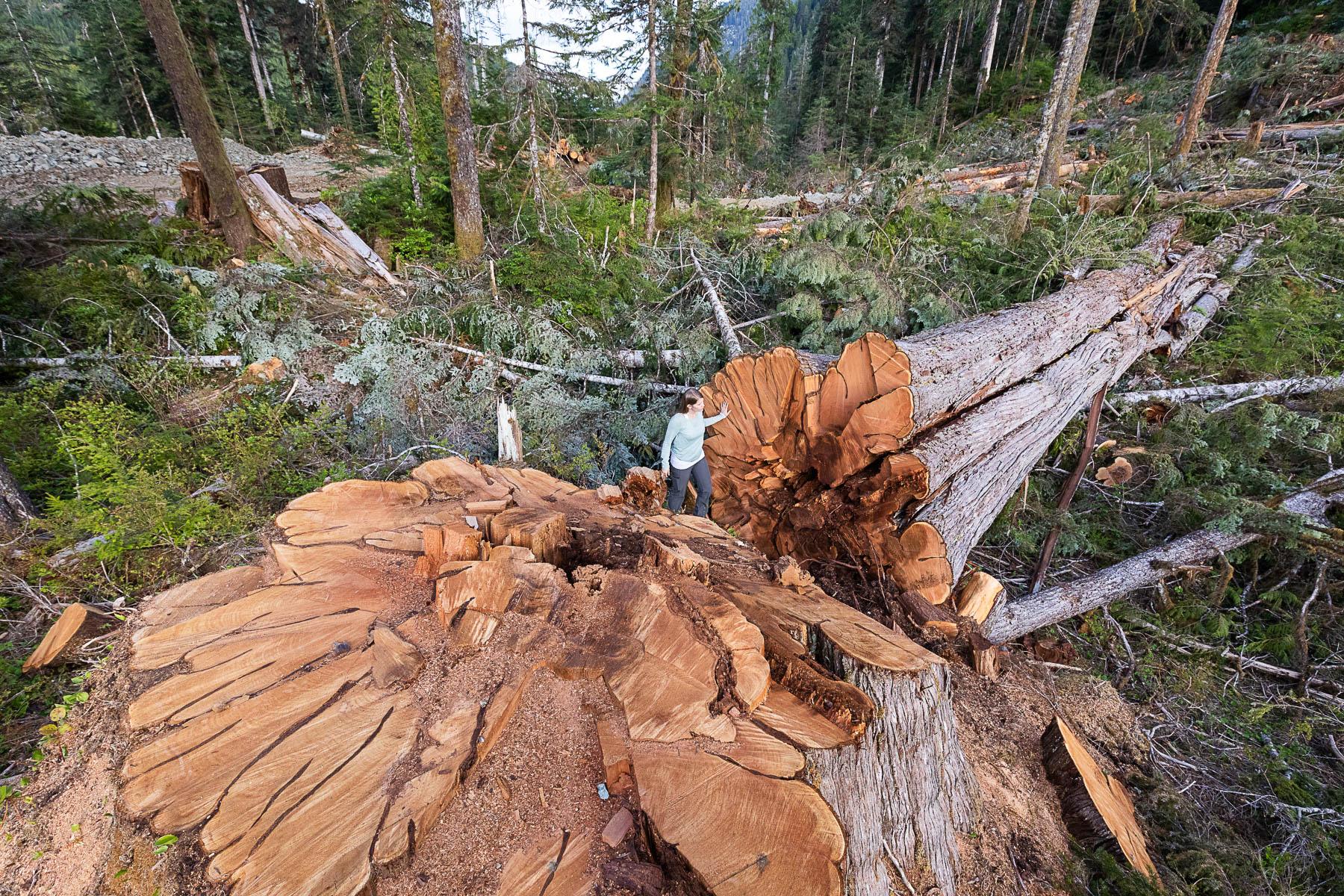 Nahmint-Valley-Andrea-Inness-Cedar-Stump.jpg