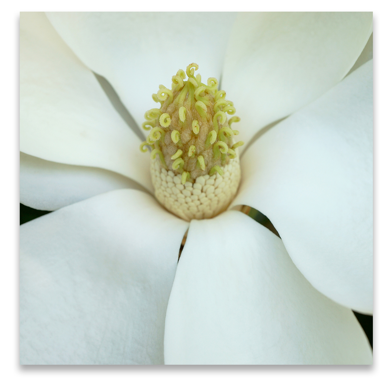 © MAGNOLIA COMPOSITION No.1 square