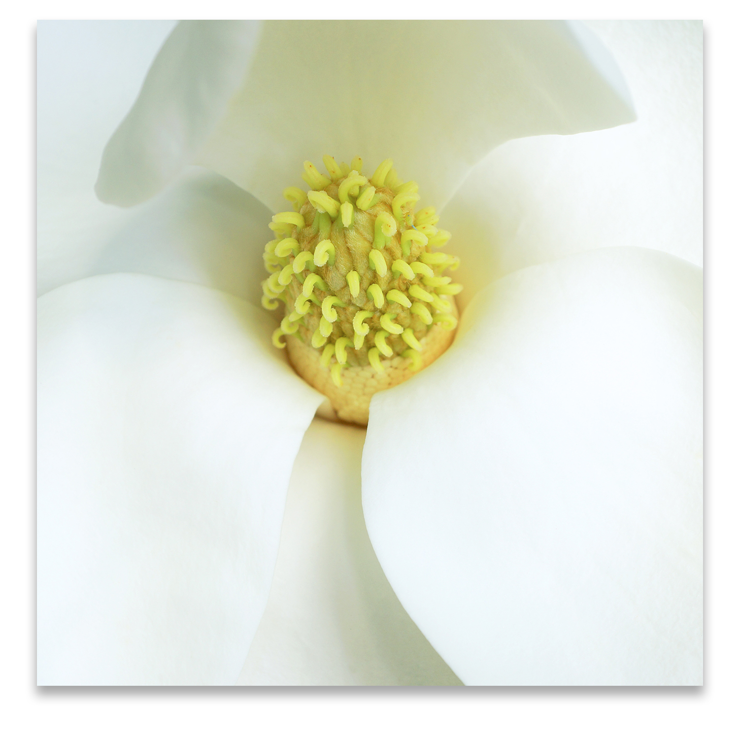 © MAGNOLIA COMPOSITION No.3 square