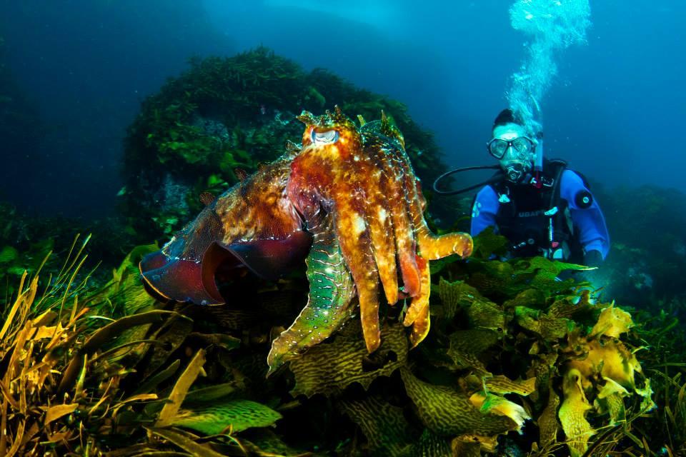 A Giant Cuttlefish in the kelp on Breaksea Island..jpg
