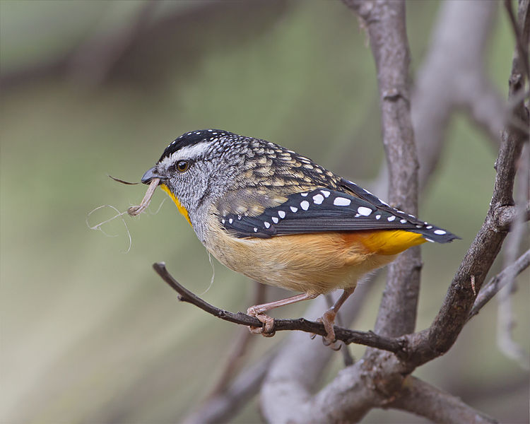 Spotted Pardalote  (first spotted this week (April 2014) by Benjamin our gardener.