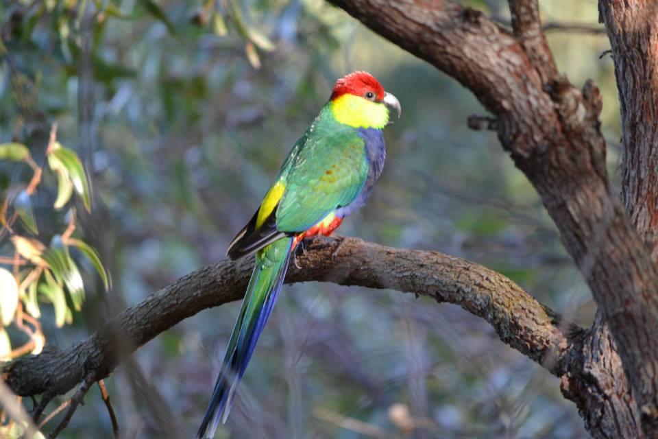 Native Birds in HideAway Havens garden Albany