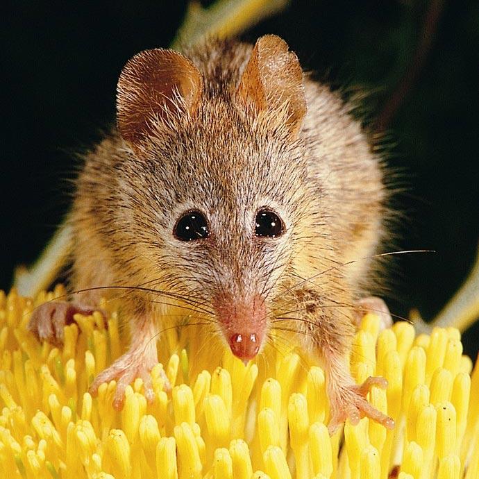 Honey Possums eat nectar from flowers. Photo Jiri Lochman/Lochman Transparencies.