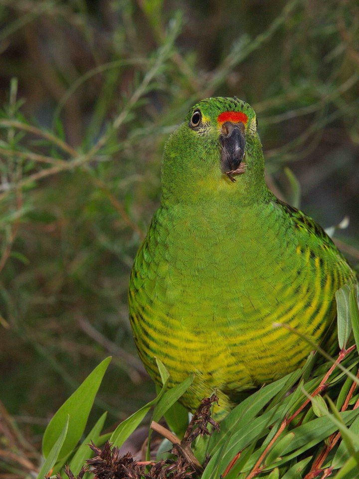 Western Parrot on Amazing South Coast