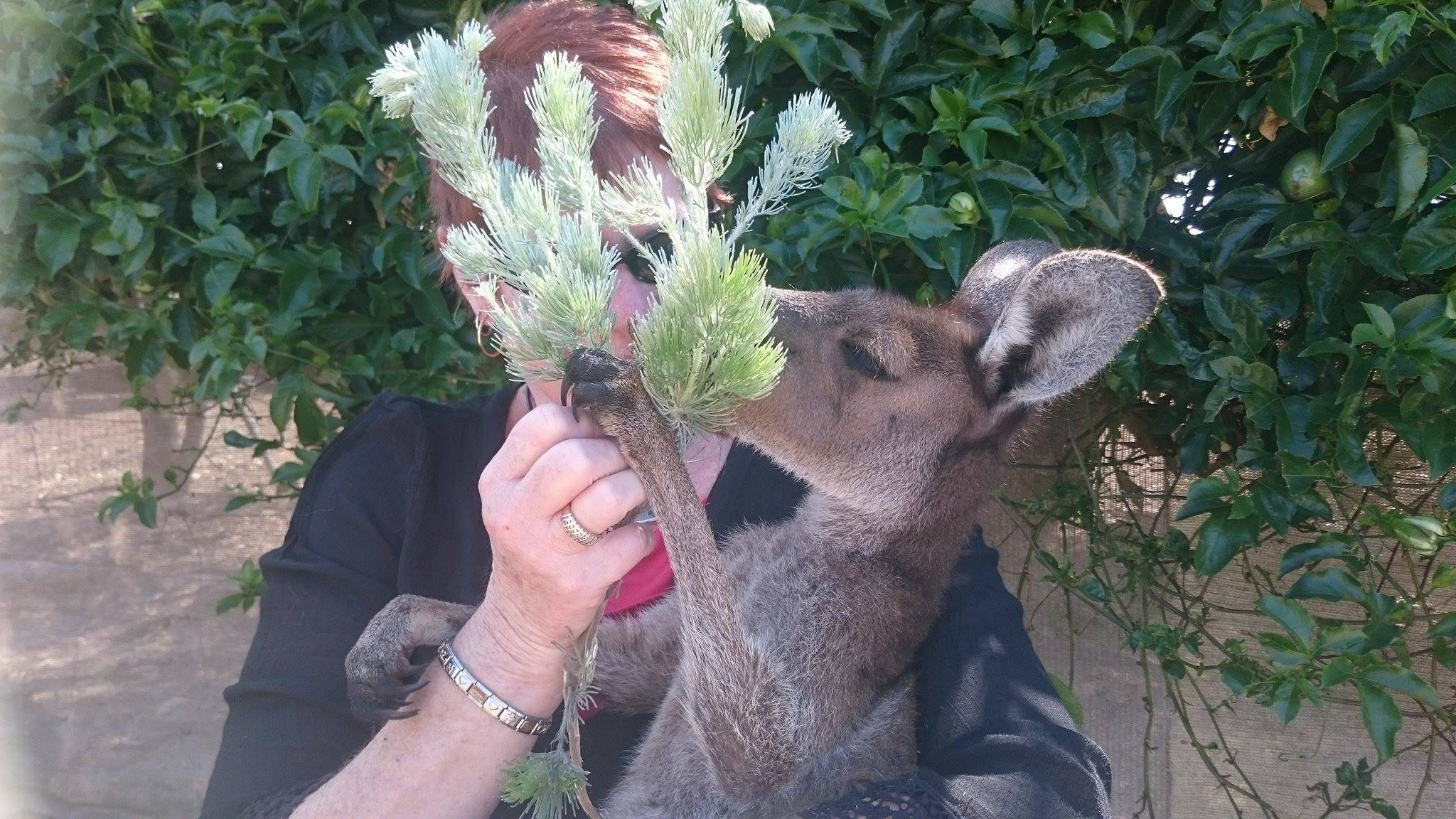 Sammie Jo was our rescue joey in care and loves her woolly bush.  Sammie Jo is now running free with her new family and still loves her woolly bush.