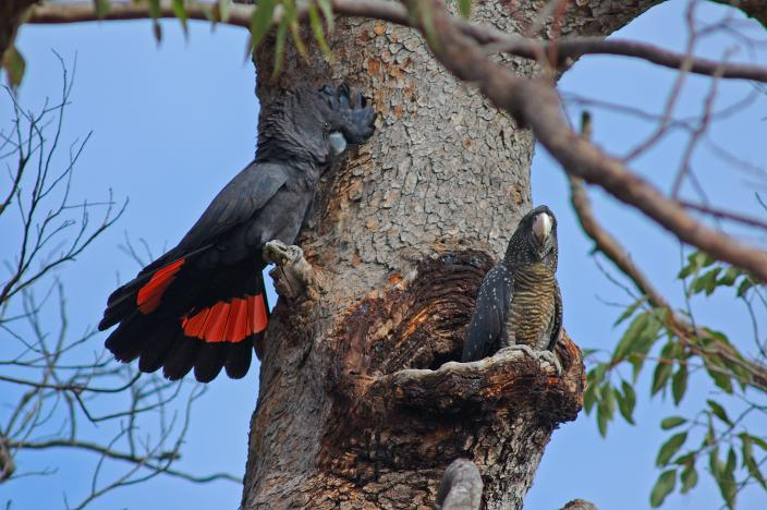 Forest Red-tailed Black Cockatoo spotted near HideAway Haven