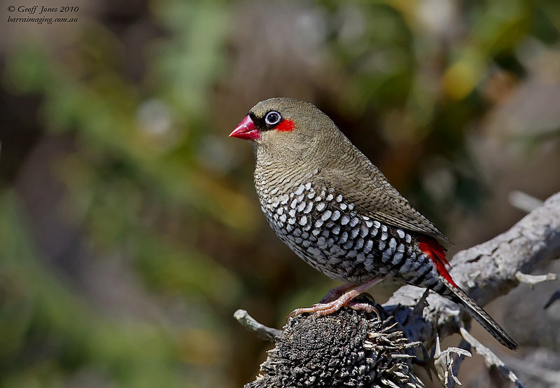 Red-eared Firetail at HideAway Haven