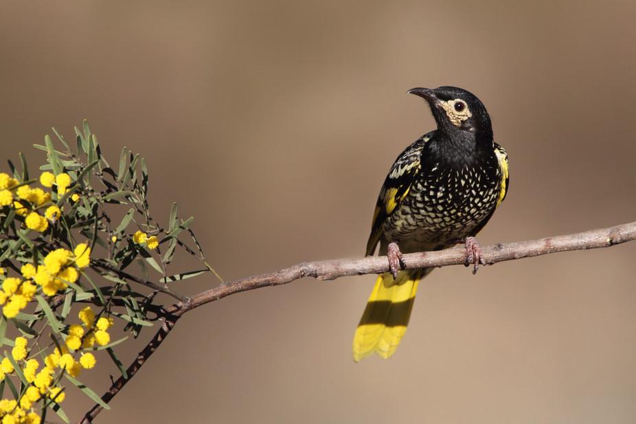 The male Regent Honeyeater is an Australian Endangered Bird.Dean Ingwersen