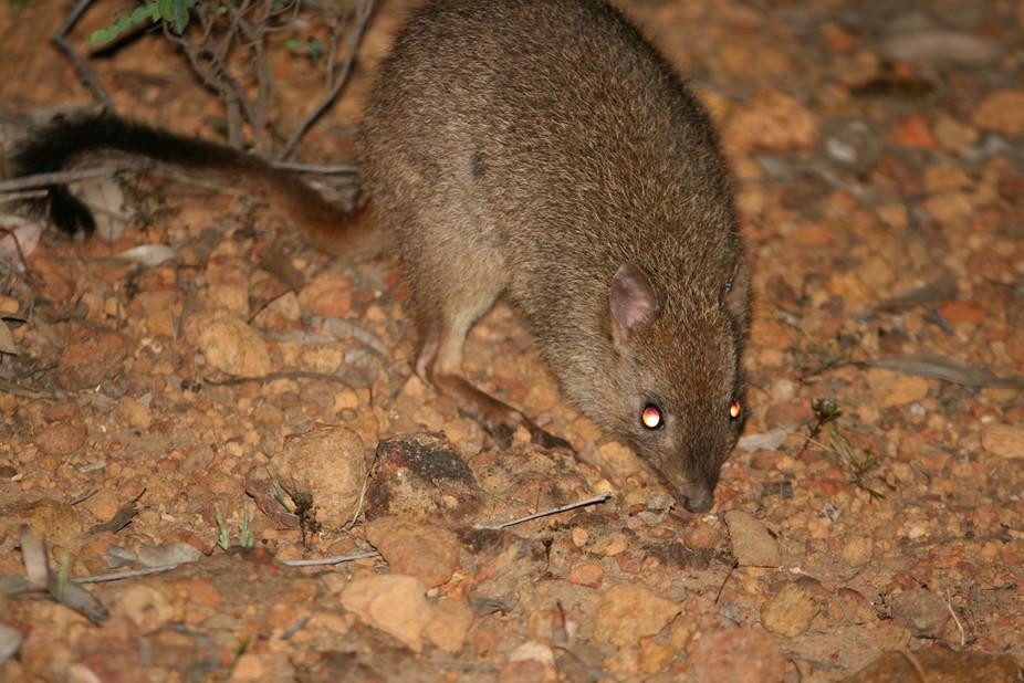 Australian endangered species:Woylie   Flickr/Arthur Chapman