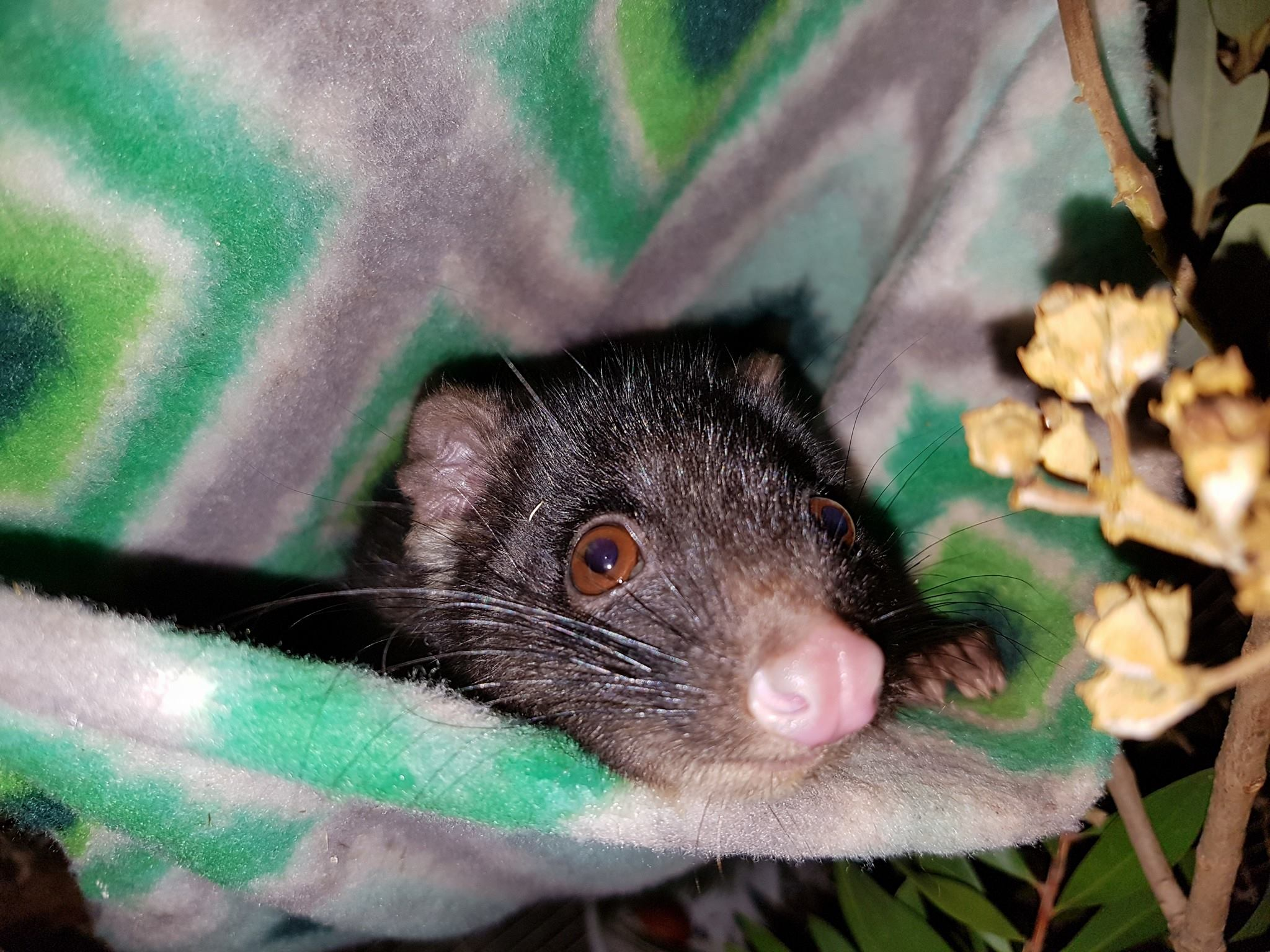 Pax a critically endangered Western Ring Tail Possum in care at HideAway Haven