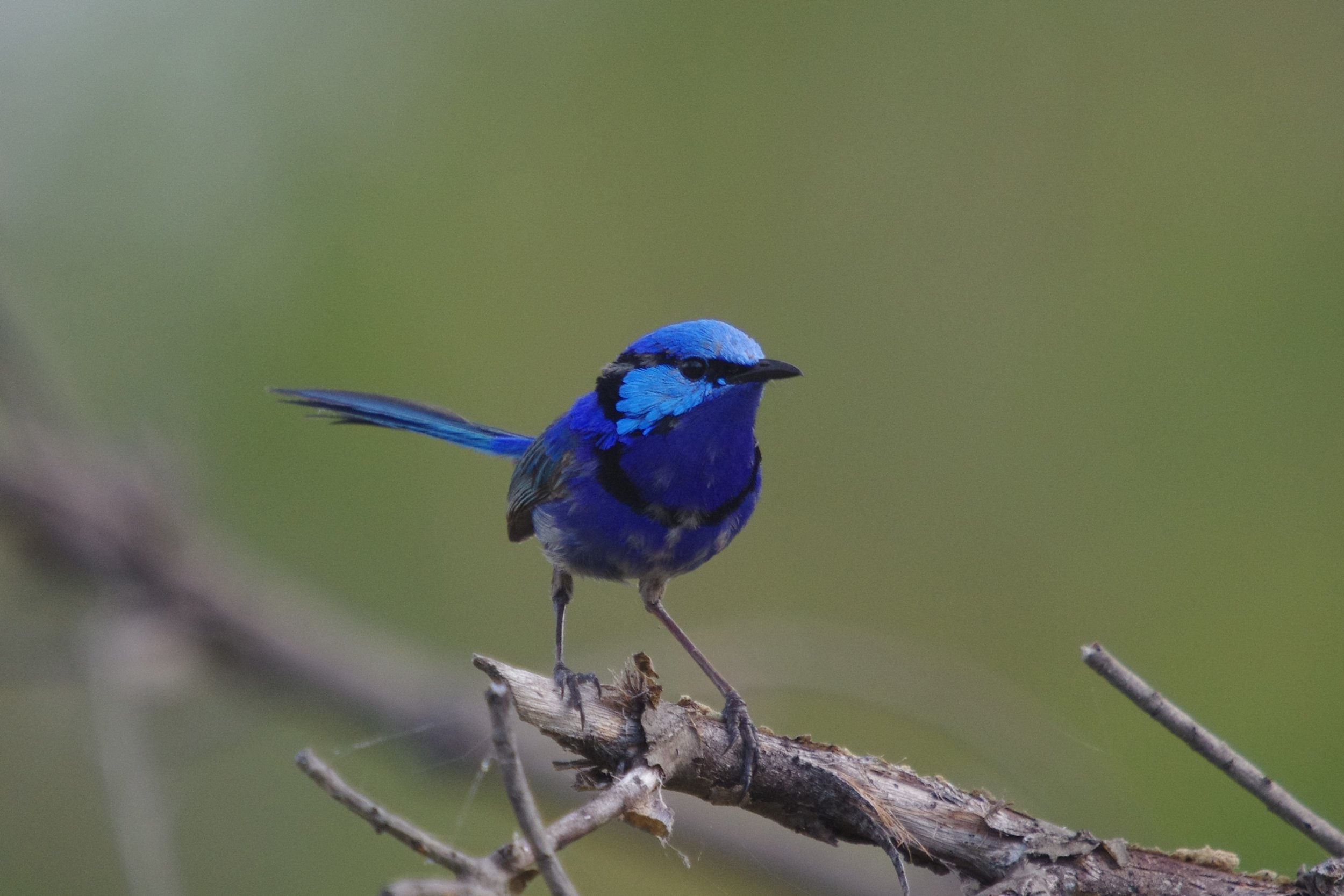 Male Blue Wren in Western Australia