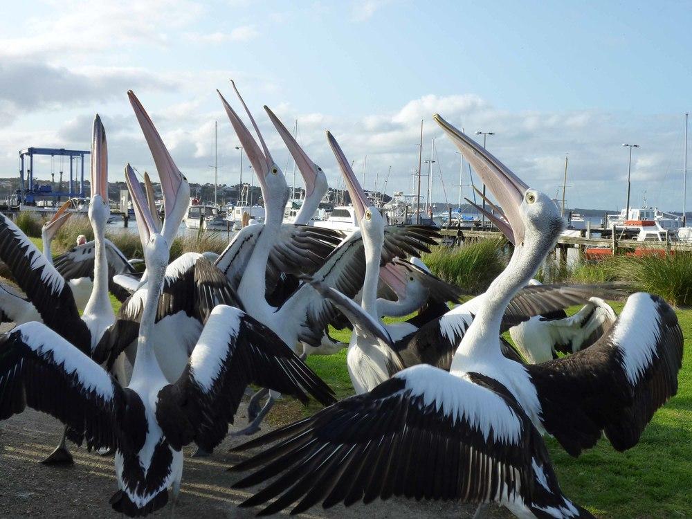 Pelicans+2.jpg