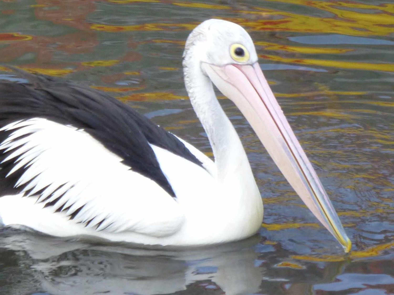 Pelican+3.jpg